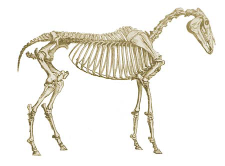 Horse skeletons and muscle structure are taken into accoun when making custom saddles