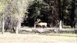 These are wild elk Video in Jackson Hole Wyoming